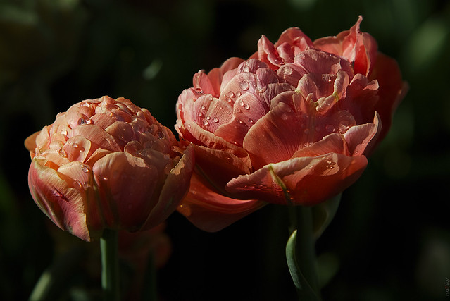 RUS46046(Two Brick-colored Tulips)