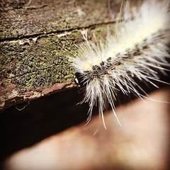 Caterpillar will you please?! #macrophotography #macro #hairycaterpillar #wilderness #pocketlens #macrolens #iphonephotography