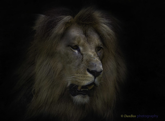 Lion Portrait on the dark