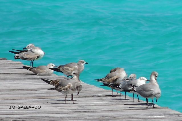 Pajarracos marinos - Quintana Roo