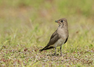 Collared Pratincole (adult, non-breeding vagrant) | by tickspics