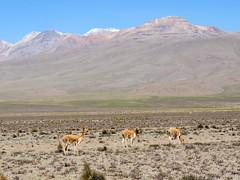 Réserve Nationale Salinas y Aguada Blanca, Canyon de Colca (Pérou)