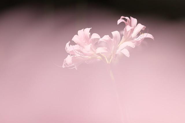 Lycoris 夏水仙
