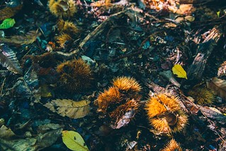 chestnut hunting-15 | by dani920