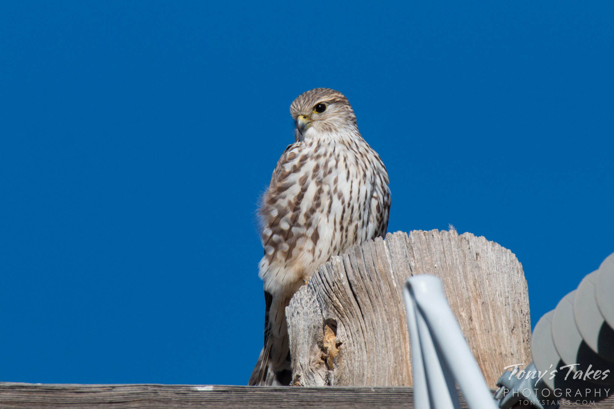 A Merlin keeps watch from its perch on a utility pole. (© Tony's Takes)