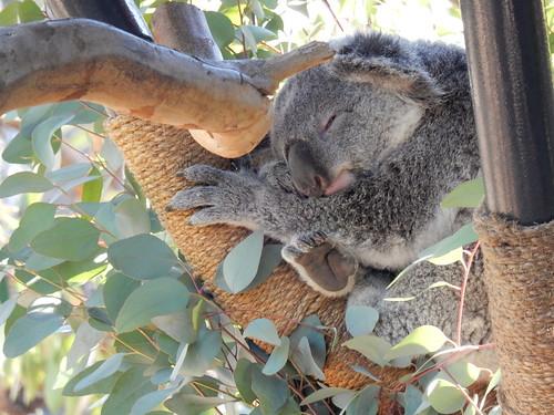 San Diego Zoo - glurende koala