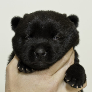 Nori-Litter3-Day17-Pup1(female)a | by brada1878