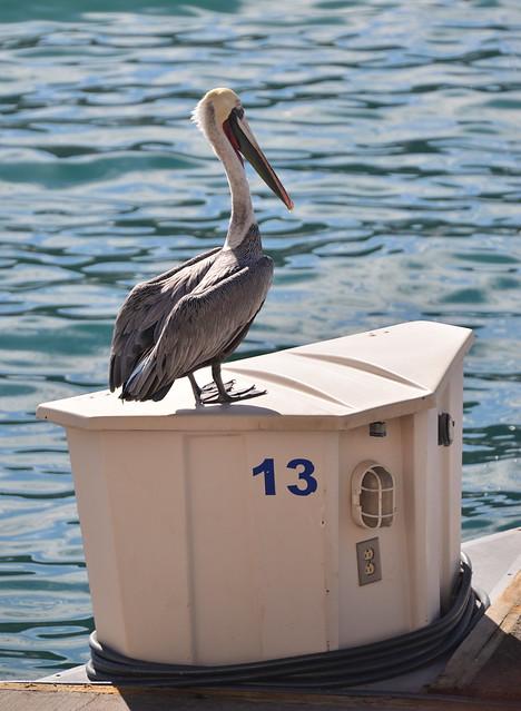 The Unlucky Pelican
