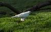 Gray Goshawk, white phase by pinebird