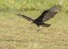 Lesser Yellow-headed Vulture by tickspics 