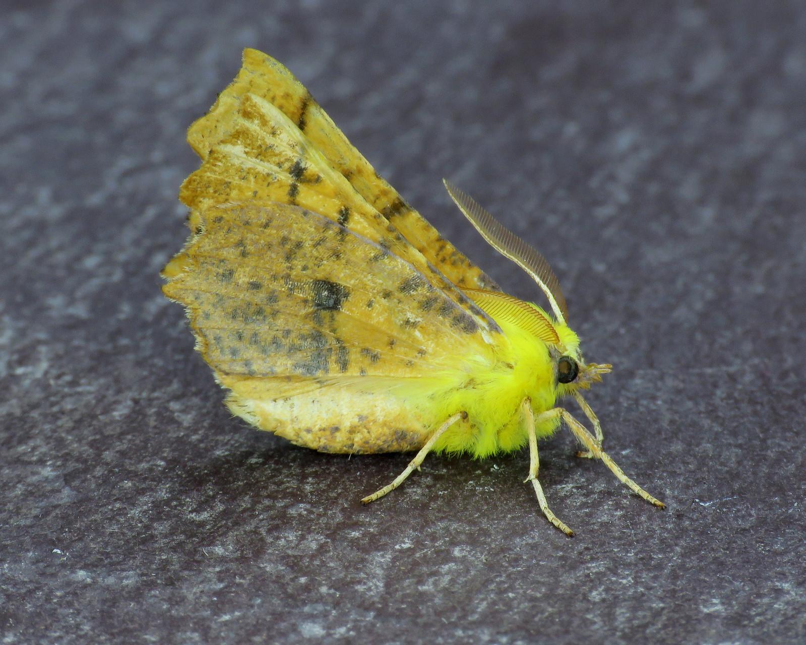 70.234 Canary-shouldered Thorn - Ennomos alniaria