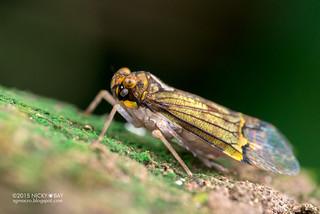 Planthopper (Fulgoridae) - DSC_3760