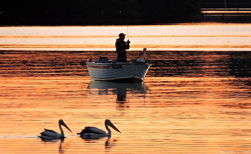 pink pelicans nature water birds animals fauna sunrise reflections photography bay boat fishing fisherman nikon scenery waterfront wildlife australia coolpix brisbanewater woywoy p600 nswcentralcoastnsw centralcoastnsw