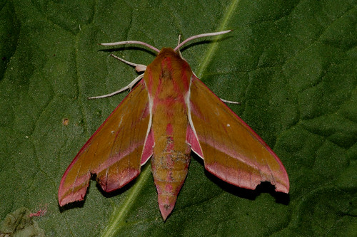Elephant Hawk-moth   --  Deilephila elpenor | by manum.net - Photos from Manum Gård