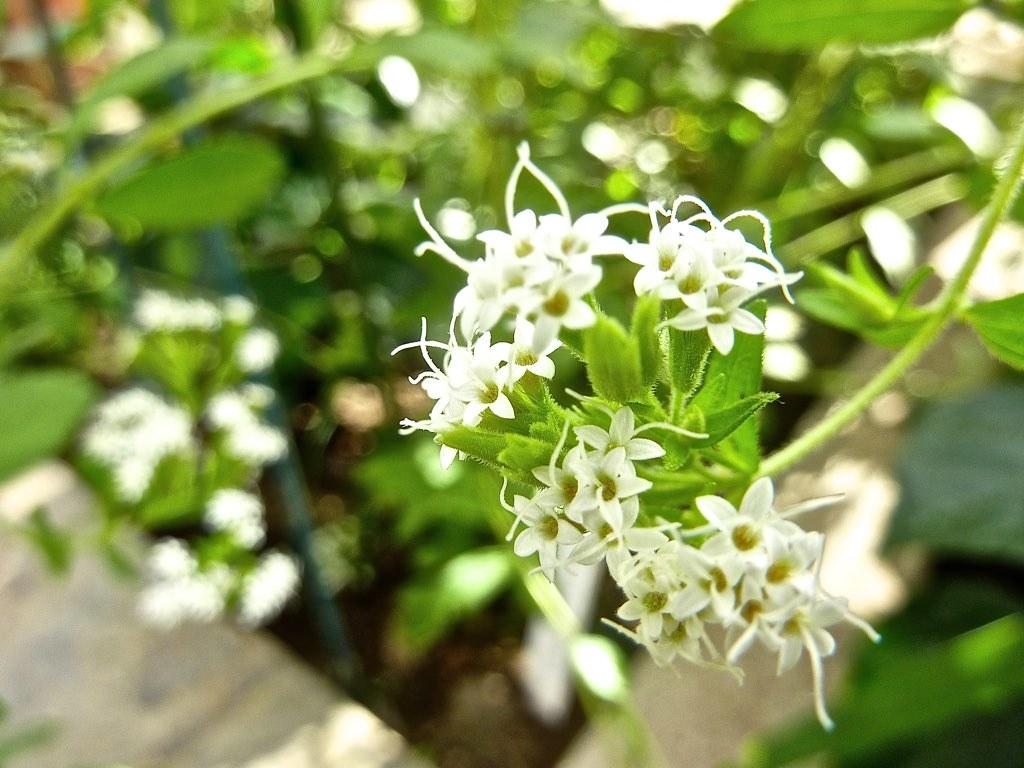 Stevia rebaudiana 4