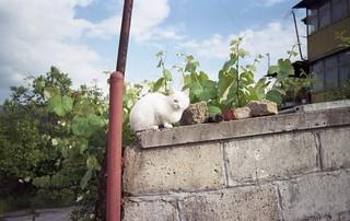 white eye cat