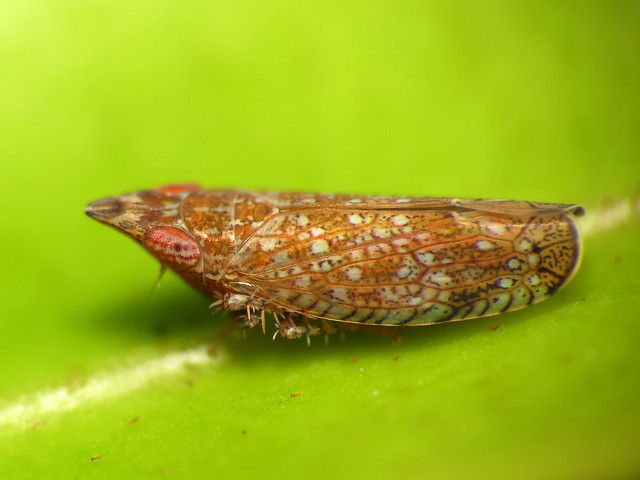 Pointy-nosed Leafhopper