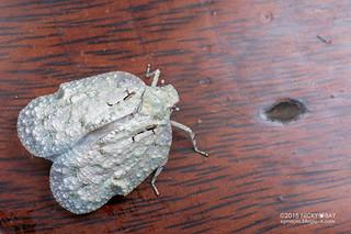 Planthopper (cf. Flatolystra sp.) - DSC_2030