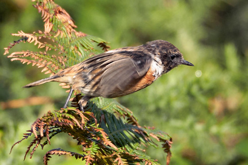 stonechat 20-9-15 moving perches | by Brian Wadie Photographer
