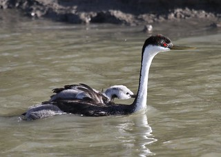 Western Grebe Carrying a Baby Grebe on Its Back | by USFWS Mountain Prairie