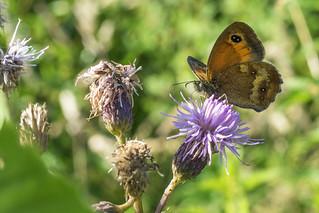 Oranje zandoogje/Pyronia tithonus/Gatekeeper/hedge brown. | by PAUL-fotografie-Netherlands