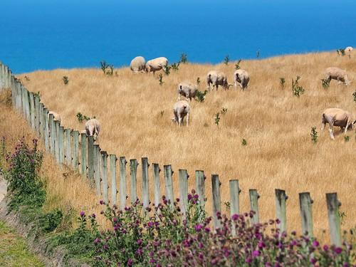 newzealand nature water animals landscape photography coast sheep oamaru