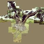 Oak Tree, Bradgate Park