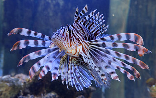 Lionfish 6503_DxO | by ahlynk