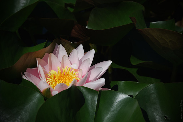 RUS49693(Pink Waterlily)