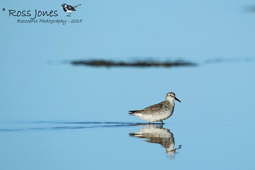 Red Knot (Calidris canutus) | by rosscodj