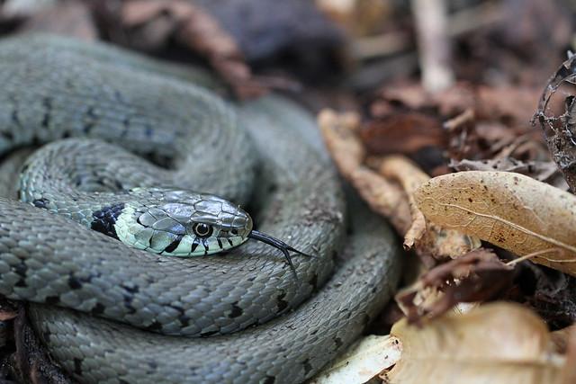 Grass snake - Wanstead Park