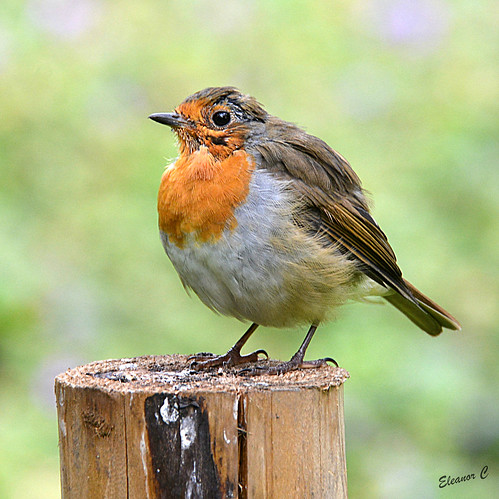 london robin kensingtongardens nikond7100 august2015
