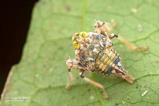 Leafhopper nymph (Coelidiinae) - DSC_0836