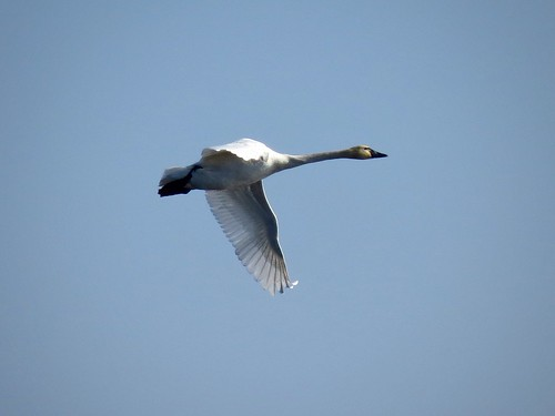 Tundra Swan | by Justin L. Lee