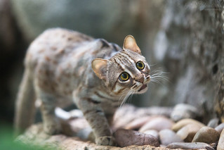 Rusty spotted cat | by Cloudtail the Snow Leopard