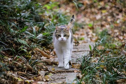IMG_0682 Calico Japanese cat 縞三毛猫