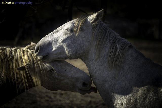 Horse Tenderness