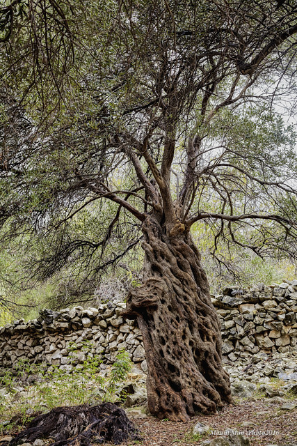 Olive tree from the peninsula Lun on the island of Pag called Lunska lace