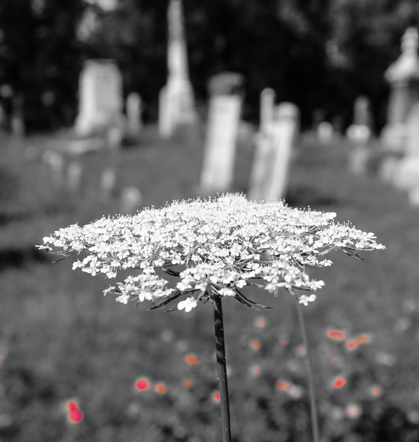 Queen Ann's Lace with tombstones