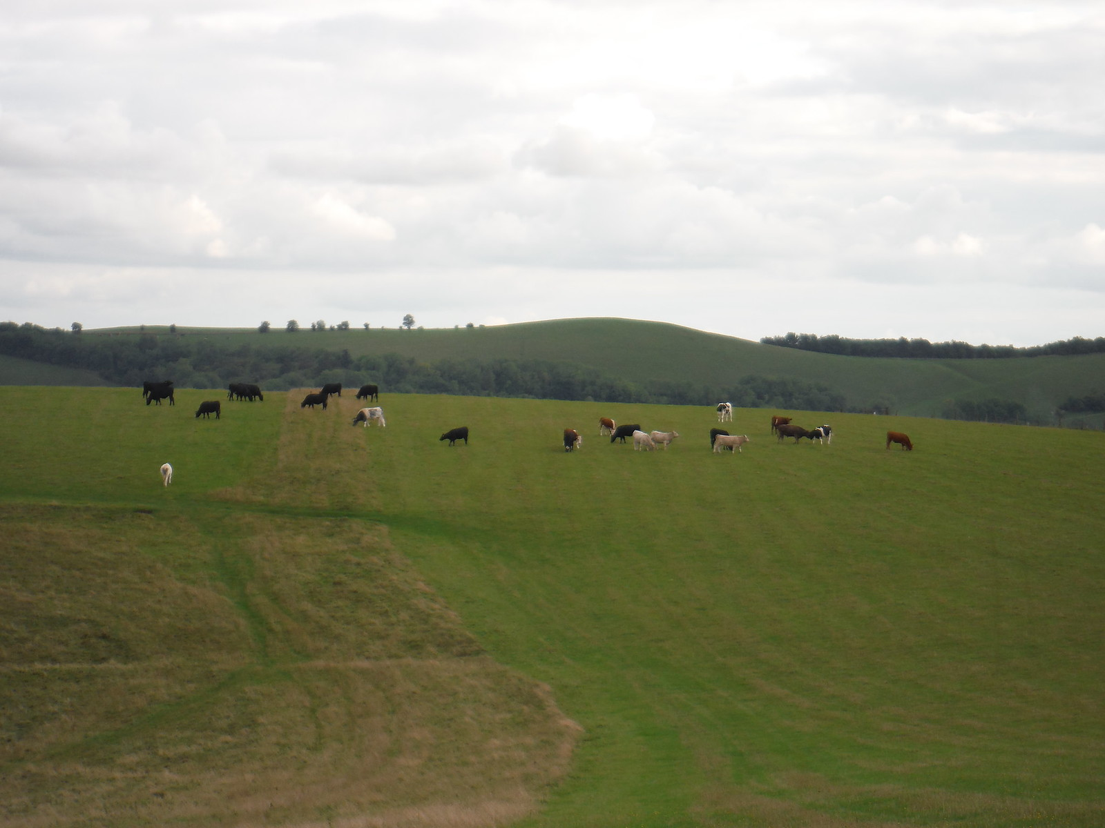 Cattle on White Sheet Hill SWC Walk 251 Tisbury Circular via Ludwell and Berwick St. John