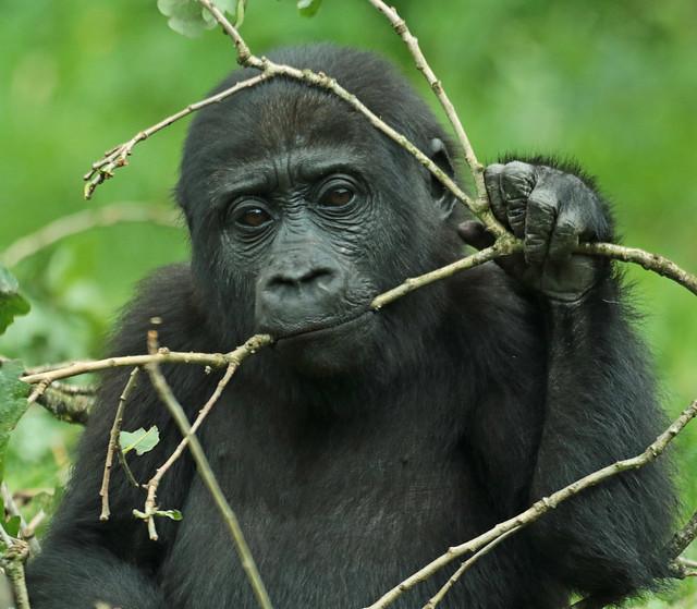 westelijke laagland gorilla Burgerszoo JN6A0149
