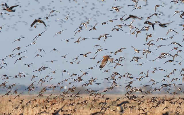 Marsh harrier - and duck mayhem