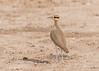 Temminck's Courser by tickspics 