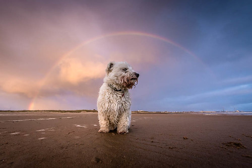 wexmondays2016 wpoty2016 dog pet animal baxter westie westhighlandwhiteterrier rainbow beach sunrise blyth northumberland