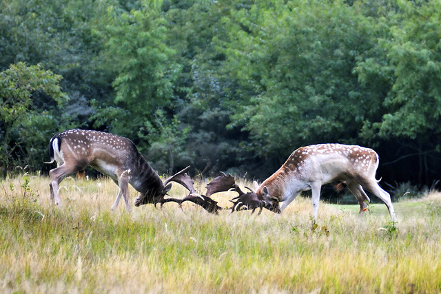 fighting fallow deer