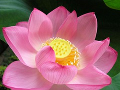Lotus | by tanakawho