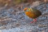 Russet-crowned Crake - Brazilian Birds - Species # 170 by Bertrando©
