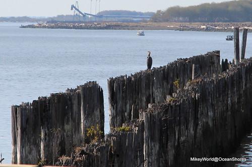 travel bird sticks travels october aberdeen both cormorant viewing wander piles boatlaunch 2015 hoquiam driveabout chehalisvalley graysharborport veiwingtower