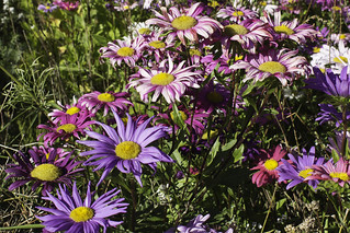 Daisy drama in pinks and purples – 2 | by Rod Raglin