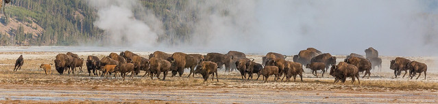Racing Buffalo Between Geysers